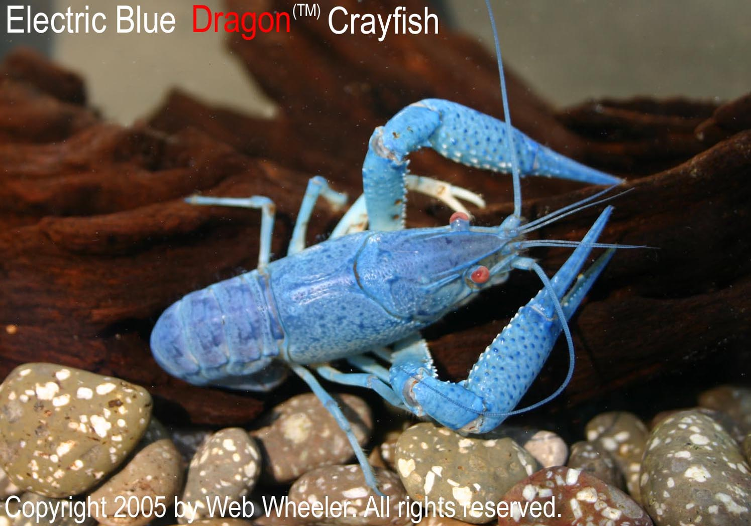 Electric Blue Dragon Crayfish