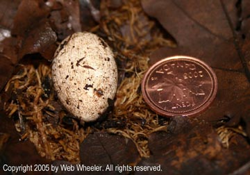 Red-Eyed Crocodile Skink egg photograph