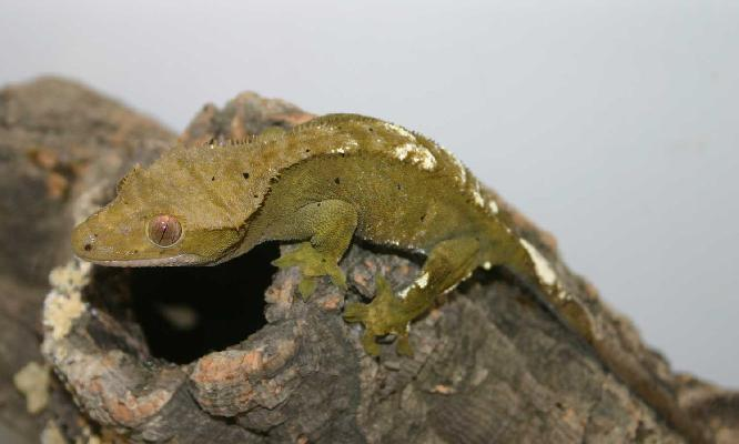 Crested Gecko (female)