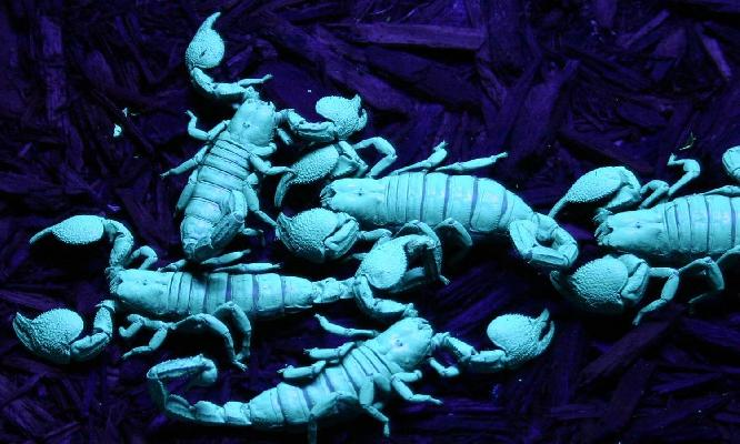 Emperor Scorpion (under UV light)