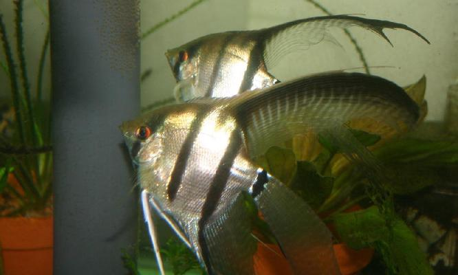 Silver Angelfish (spawning)