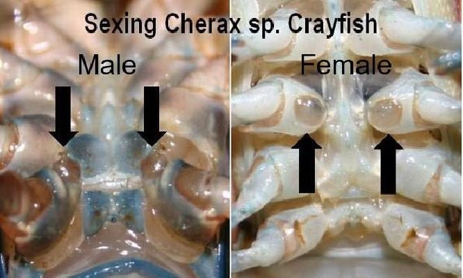 Sexing Cherax sp. Crayfish