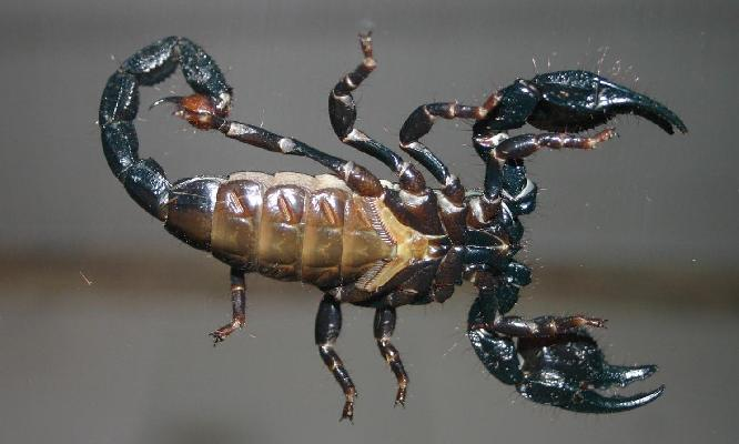 Emperor Scorpion (male underside)