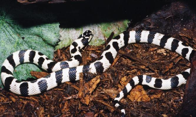 "California Kingsnake (""50/50"")"