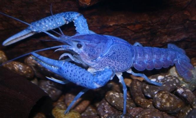 Male Electric Blue Crayfish