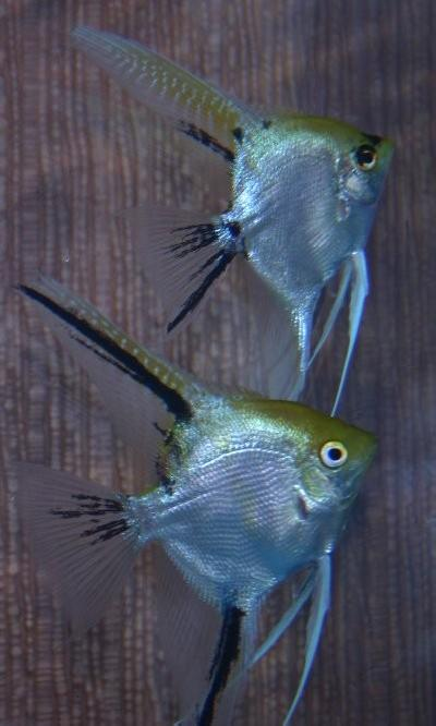 Gold Marble Angelfish Pair