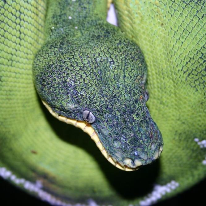 Amazon Basin Emerald Tree Boa