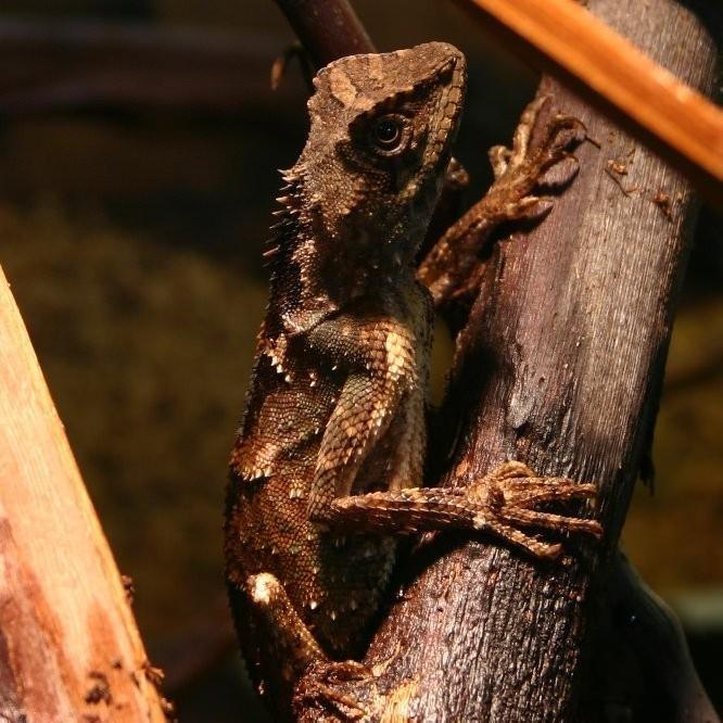 Dwarf Mountain Horned Dragon